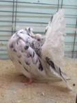 almond cock 938/99