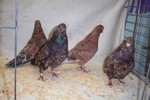 Classical Almond Rollers. These birds are NOT flown. They are bred for their colour qualities alone.